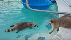 MALANDRO! Guaxinim nada em piscina e irmão tenta tirá-lo