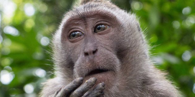 Macaque in 'Monkey Forest' pauses momentarily while eating. Ubud, Bali,