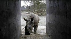 Rinoceronte branco morre no zoo de San Diego; Restam apenas três no