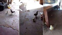 ASSISTA: Pintinho corajoso não deixa barato, revida e bota galinho para