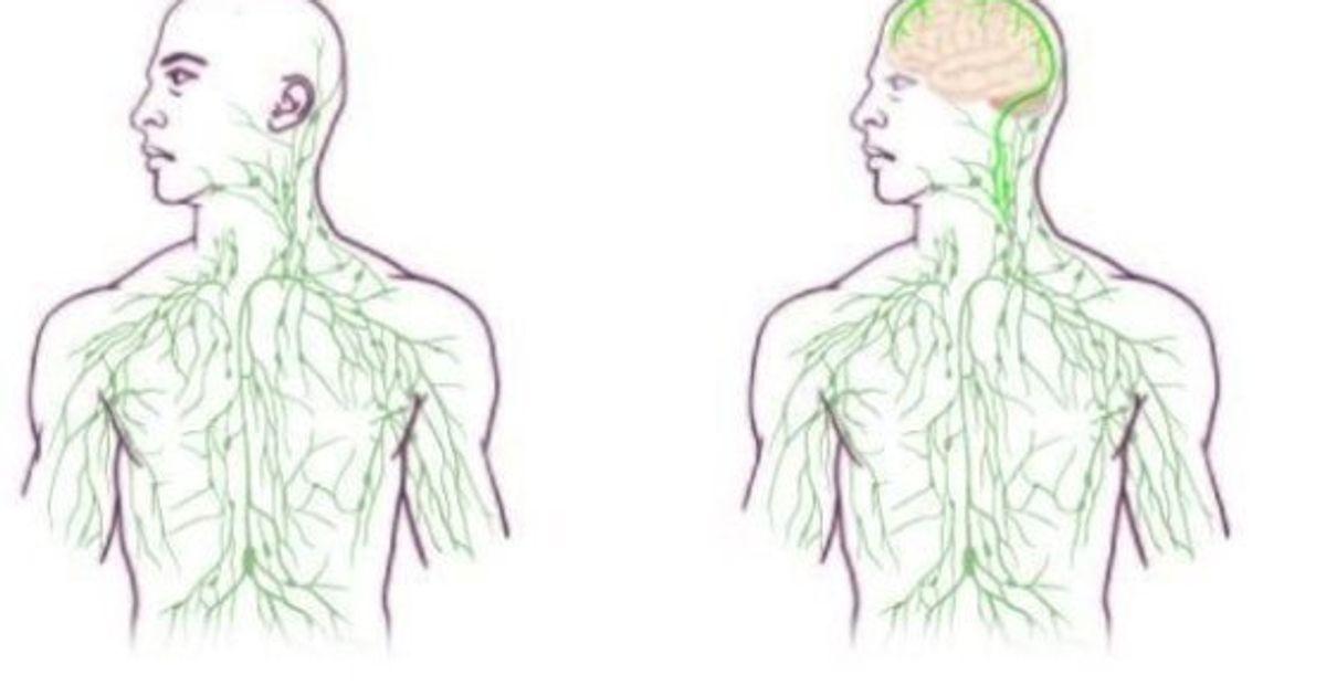 Seu cérebro está diretamente ligado ao seu sistema imunológico, diz pesquisa