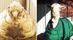 Como um carneiro pode produzir mais de 40 kg de lã? Evolução
