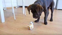 ASSISTA: Filhote de labrador brincando com BB-8, de 'Star Wars', é pura fofura