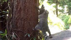 ASSISTA: Mamãe guaxinim ensina filhotinho a escalar