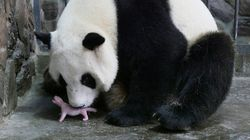 ❤ Panda gigante raro nasce em zoológico da Bélgica