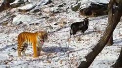 ASSISTA: Tigre e cabra viram melhores amigos em zoológico