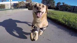 ASSISTA: Cadela que nasceu com deformação nas patas usa próteses pela primeira