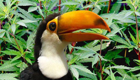 Conheça o Tucannabis, grupo que quer discutir a maconha dentro do