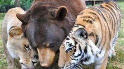 ASSISTA: Um leão, um urso e um tigre são amigos na 'arca de Noé' há 15 anos