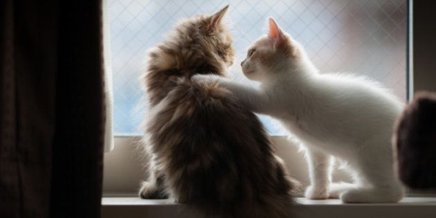 White and cream colored Scottish Fold kitten places paw on shoulder of golden chinchilla persian kitten, while on windowsill.