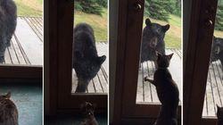 SAI JÁ DAQUI! Gato espanta urso que tenta entrar em