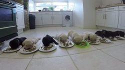 ASSISTA: Vídeo mostra 10 filhotes de labrador comendo pela primeira