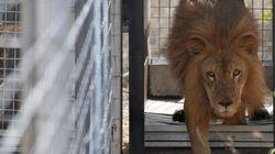 TRISTEZA: Leões resgatados de circos colombianos morrem na África do