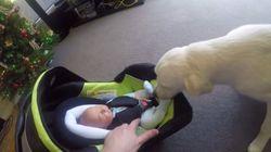 Aaawwwn! Golden retriever encontra bebê pela 1ª vez e não contém sua