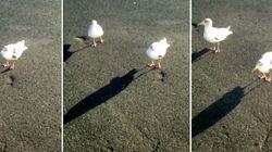 ASSISTA: Homem ensina gaivota a sapatear e