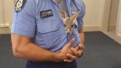 Bebê canguru 'adota' policial após perder a mãe em