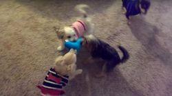 ASSISTA: Cachorros ficam MA-LU-COS e brigam por brinquedo do