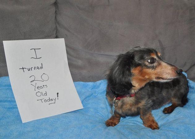 Conheça Buster, o dachshund que acaba de completar 20