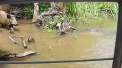 CRUELDADE: turistas atraem porco selvagem para ser devorado por