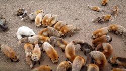 Zao Fox Village: Conheça a vila dominada por raposas no