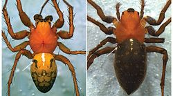 Nova espécie de aranha é batizada em homenagem a mateiro