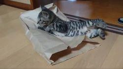 ASSISTA: 'Gatíneo' brinca com saco de papel e tem adorável