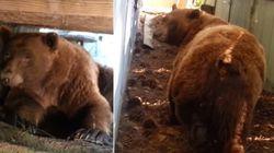 ASSISTA: Expulso por homem, urso tranquilão decide se vingar com...