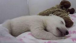 ASSISTA: Ursinha polar recém-nascida dormindo é a coisa mais fofa do