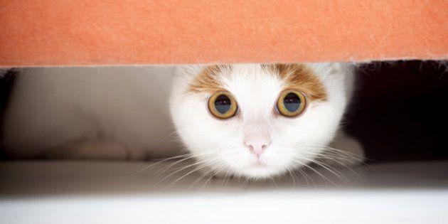 Austrália declara guerra aos gatos e promete matar 2 milhões de felinos até