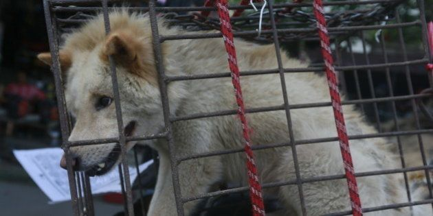IMAGE DISTRIBUTED FOR HUMANE SOCIETY INTERNATIONAL - A dog in a small cage waits to be sold in Yulin...