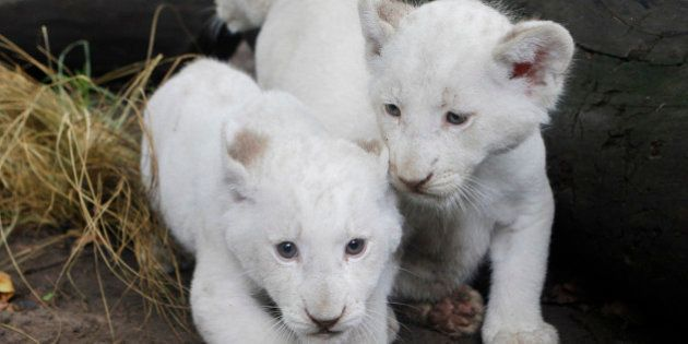 Three white lion cubs are presented to the public at the city zoo in Buenos Aires, Argentina, Wednesday,...