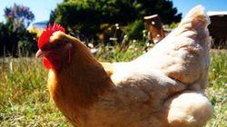Avanço! Nestlé nos EUA adota política contra galinhas