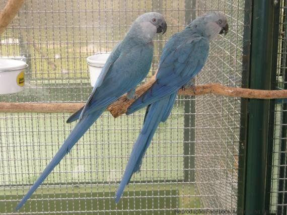 Ararinha-azul é vista na natureza após 15 anos desaparecimento da