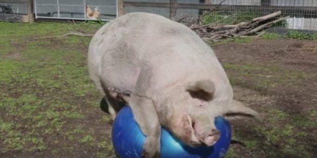 Porco chamado Max ama brincar com bolas infláveis