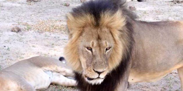 Norte-americano é acusado de matar popular leão do