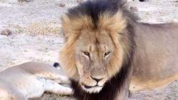 Americano é acusado de pagar 50 mil dólares para matar leão famoso do