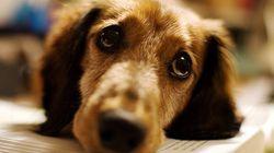 Bom pra cachorro! App ajuda a encontrar cães doadores de