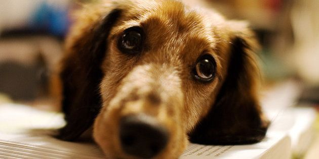 Sangue Amigo: Aplicativo ajuda a encontrar cães doadores de