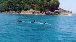 'Rolezinho': Família de orcas é vista no litoral de