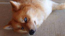Você vai ficar hipnotizado pela Mya, cruzamento de Lulu da Pomerânia com Husky