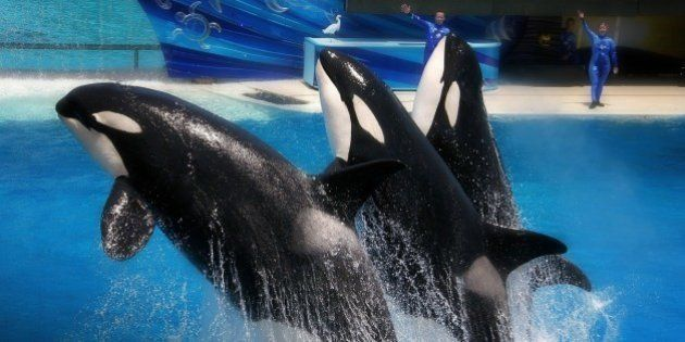 SeaWorld processa Califórnia por proibir reprodução de baleias em