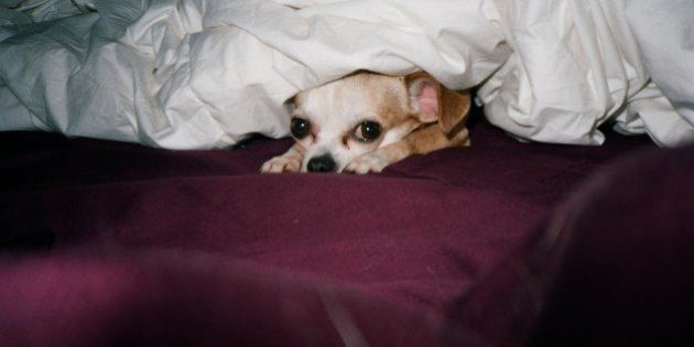 A chihuahua under bed sheets and
