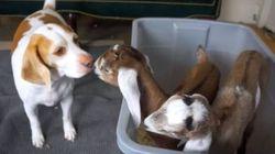 ASSISTA: 'Catioro' simpático faz amizade com filhotes de cabra (e todos