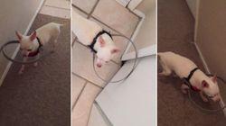 ASSISTA: Dona cria solução inteligente para ajudar cachorrinho