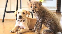 ASSISTA: Criados juntos, guepardo e cachorro são melhores