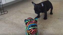 ASSISTA: Filhote de bulldog francês fica MA-LU-CO com cachorro de