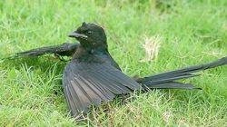 Pássaros chapam esfregando formigas nas