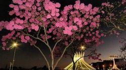 Você vai ficar impressionado com a beleza dos ipês rosa em