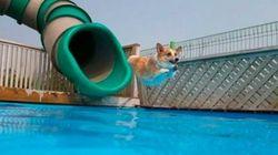 ASSISTA: Cachorrinho desliza em tobogã e mergulha MUITO melhor que