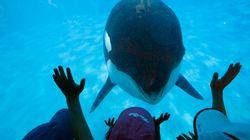 Califórnia proíbe SeaWorld de criar baleias em